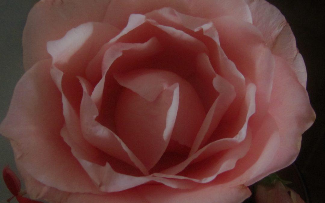 Mi Rosa